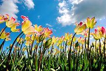 Tulip field by Hetty Mellink