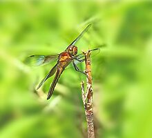 Widow Skimmer Dragonfly - Libellula luctuosa by MotherNature