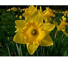 Golden Daffodils. Photographic Print