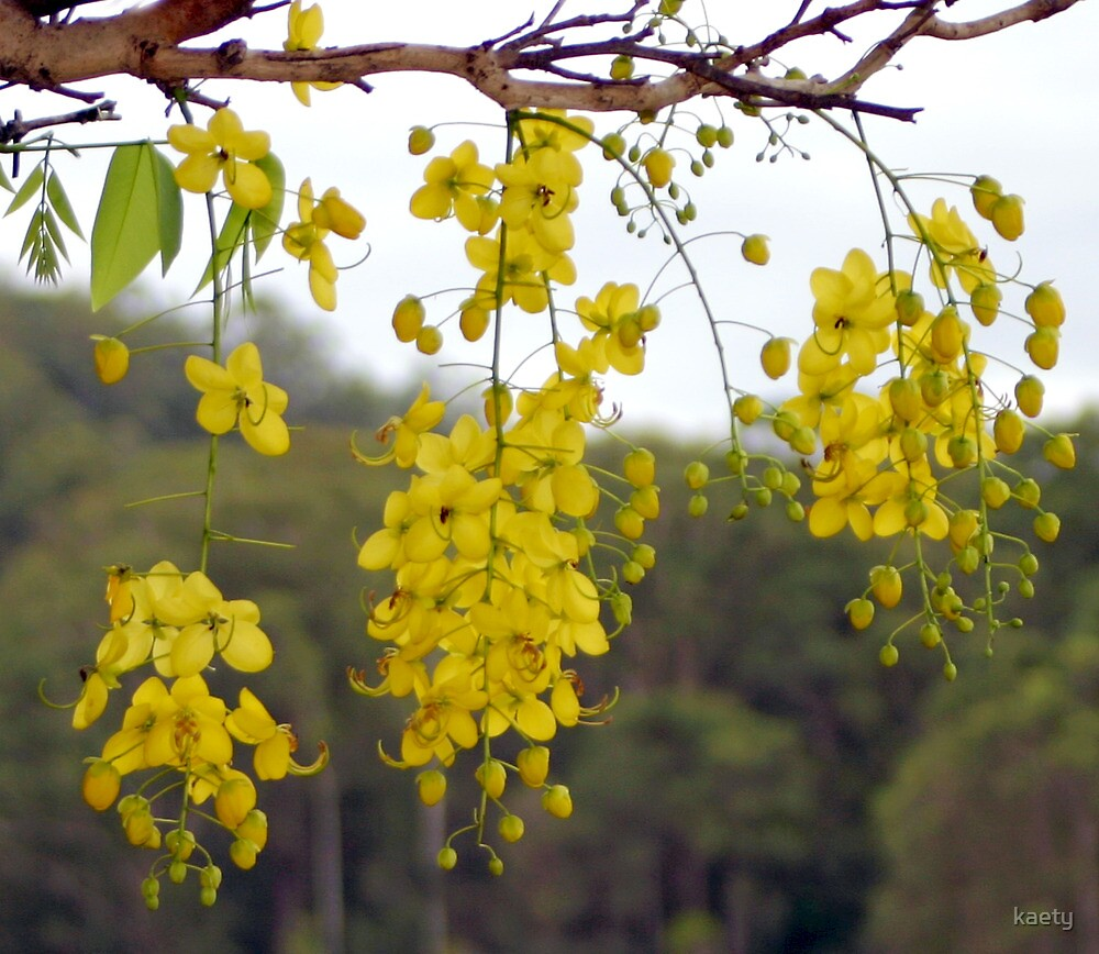 Golden Shower Tree over Cooloolabin Dam by kaety