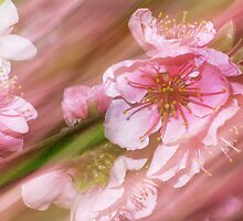 Pink. Japanese Cherry Blossom. by crazyhare