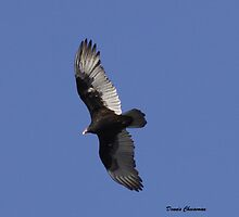 Turkey vulture by Dennis Cheeseman