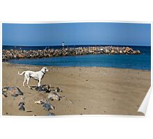 A stray dog on the beach on Crete, Greece Poster