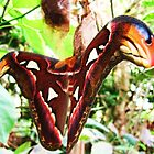 attacus atlas 2 by lisaellen