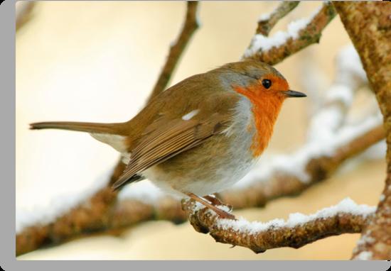 Robin on a frosty morning, County Kilkenny, Ireland by Andrew Jones