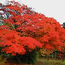 Maple Tree by AnnDixon