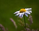 Daisy Days by Kathy Weaver