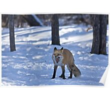 Time for a Nap - Red Fox Poster