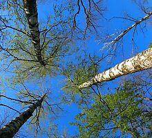 Birch trees on the background of the spring sky by vladromensky