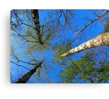 Birch trees on the background of the spring sky Canvas Print