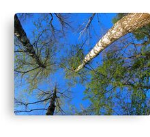 Three birch trees on the background of the sky Canvas Print