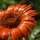 Need some orange, Daisy? by PhotosByLeila