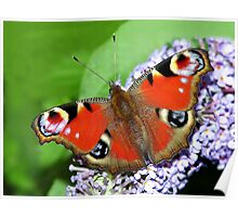 The beautiful Peacock Butterfly Poster