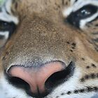 Tiger Close Up by StillApes