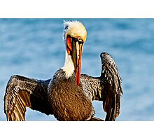 Brown Pelican Posing Photographic Print
