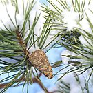 Pine cone in tree with snow by Arve Bettum