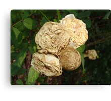 White Withered Roses Canvas Print