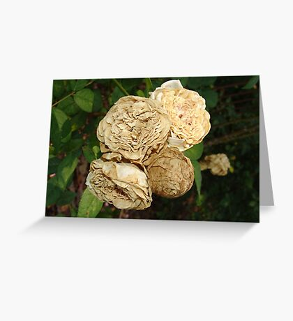 White Withered Roses Greeting Card