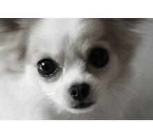 Chihuahua Portrait Photographic Print