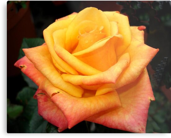 Orange Rose by May Lattanzio