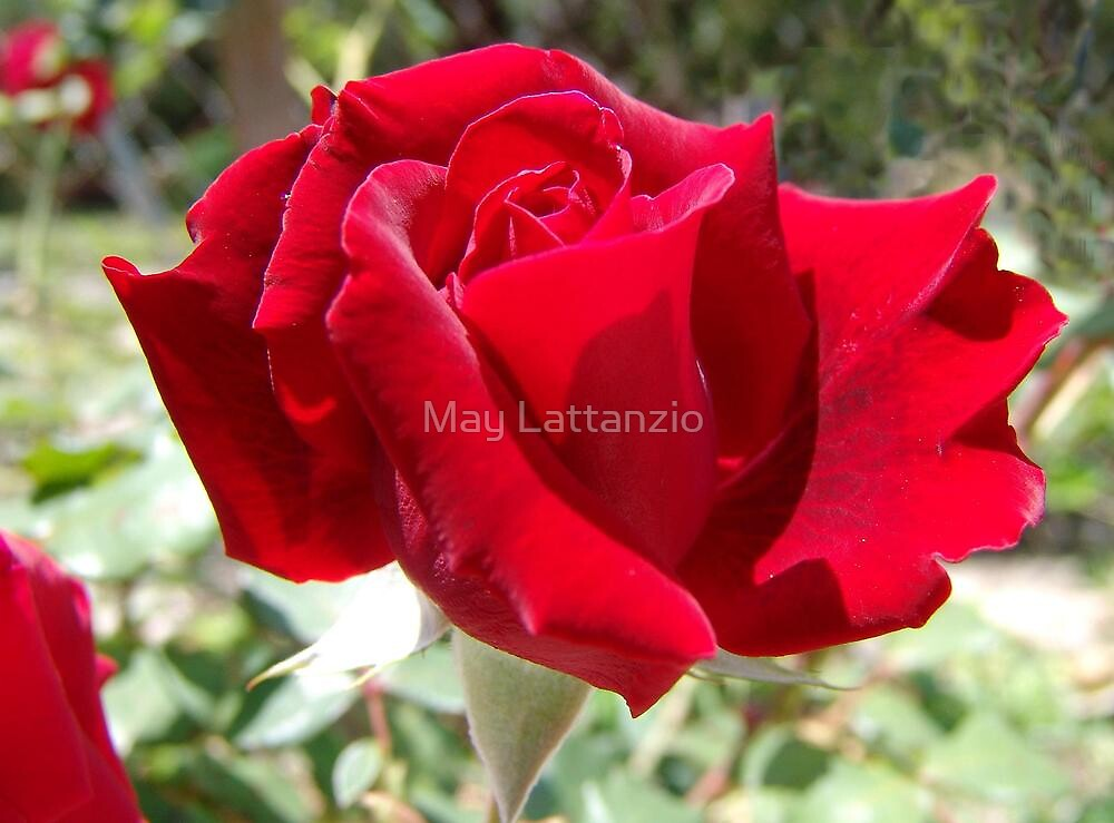 Red rose of summer by May Lattanzio
