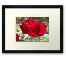 Red rose of summer Framed Print