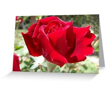 Red rose of summer Greeting Card