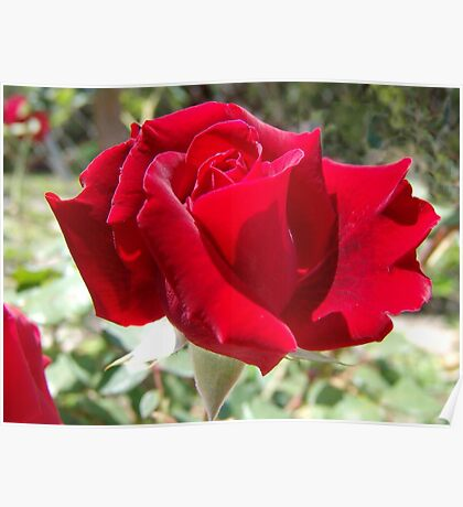 Red rose of summer Poster