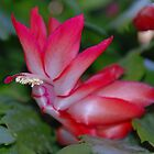 Christmas Catus Flower by Irvin Le Blanc