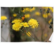 pretty small wild yellow daisy flowers. floral nature photography. Poster