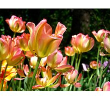 Spring Tulip Flowers Photographic Print