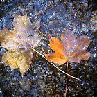 Autumn Maple Leaf on rocks with water by josunshine