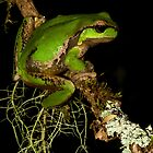 Barrington Tree Frog by Nephrurus