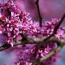 REDBUD tree in glorious Spring color!!  by Ruth Lambert