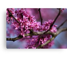 REDBUD tree in glorious Spring color!!  Canvas Print