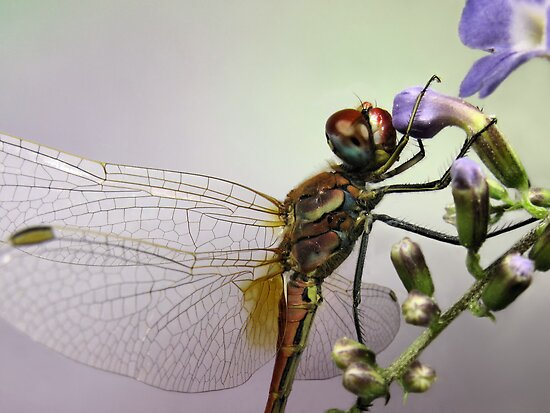 Dragonfly by jimmy hoffman