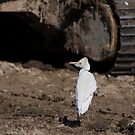 Cattle egret, Parc Natural de l'Albufera, Valencia, Spain by Andrew Jones