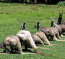 Kangaroos in a row at Coffs Harbour by Leeee