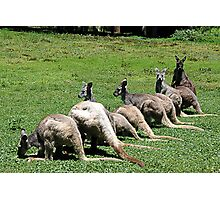 Kangaroos in a row at Coffs Harbour Photographic Print