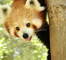 More Red Pandas by chloefish