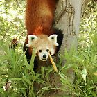 Even more Red Pandas by chloefish