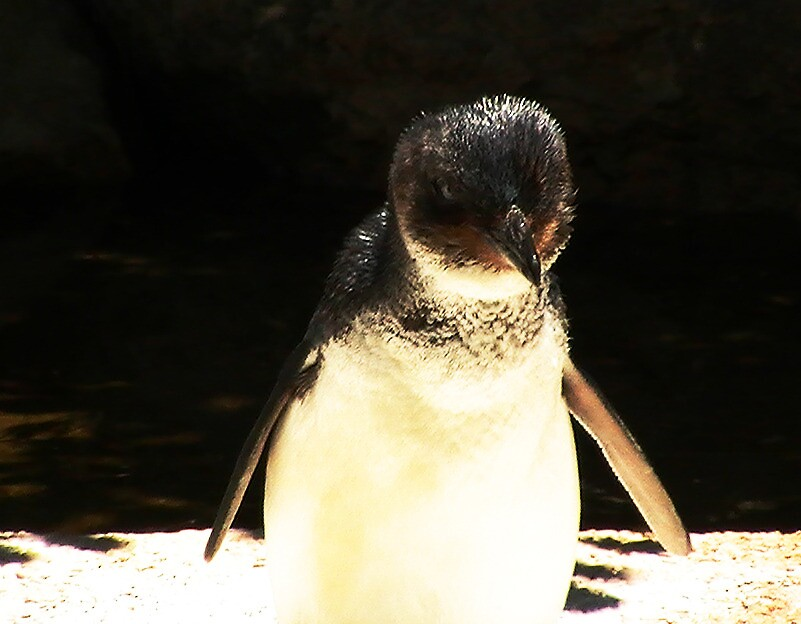 Penguin by chloefish