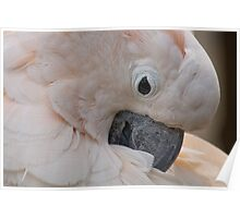 Close-up of White Parrot Poster