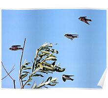 Spring Flight Training School for Young Tree Swallows Poster