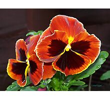 Fire Pansy Photographic Print