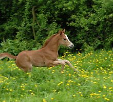 galloping foal! by sarahnewton