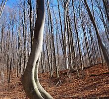 The Curved Beech in the Northern Michigan Hardwoods by Robert deJonge