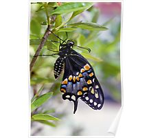A Newly Hatched Black Swallowtail Poster