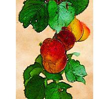 Apricots 1 Photographic Print