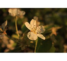 Pear Blossom Flower Macro Photographic Print